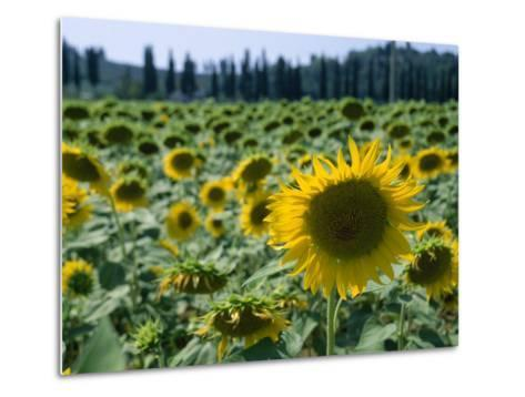 Field of Sunflowers in the Tuscan Countryside-Gina Martin-Metal Print