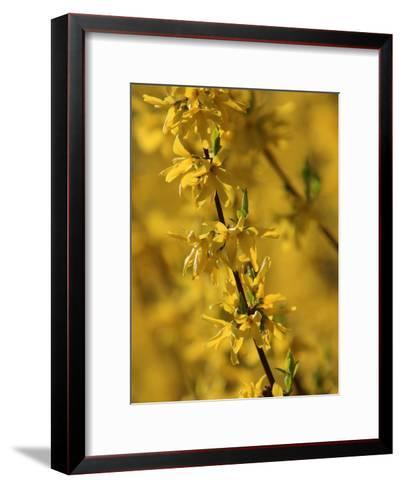 Close-up of a Forsythia Branch in Bloom-Joe Petersburger-Framed Art Print