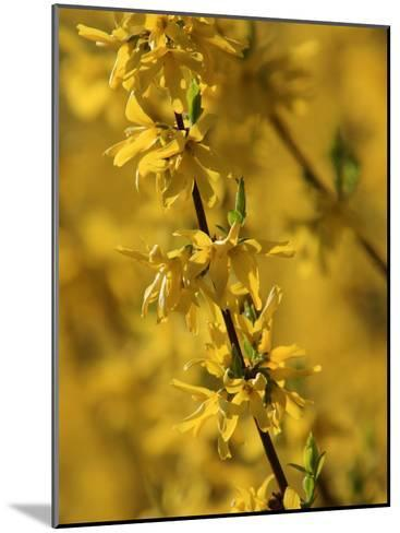 Close-up of a Forsythia Branch in Bloom-Joe Petersburger-Mounted Photographic Print