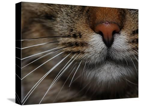 Close-up of the Nose of a Domestic Cat-Joe Petersburger-Stretched Canvas Print