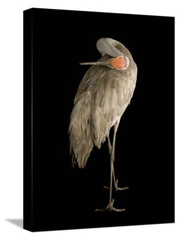 Sandhill Crane, Grus Canadensis-Joel Sartore-Stretched Canvas Print