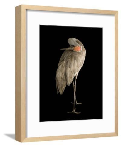 Sandhill Crane, Grus Canadensis-Joel Sartore-Framed Art Print