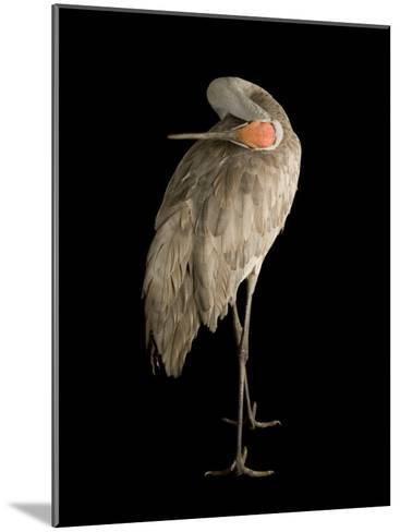 Sandhill Crane, Grus Canadensis-Joel Sartore-Mounted Photographic Print
