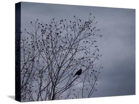 Silhouette of a Bird in a Tree Against a Cloudy Sky-Joel Sartore-Stretched Canvas Print