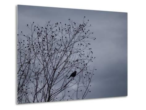 Silhouette of a Bird in a Tree Against a Cloudy Sky-Joel Sartore-Metal Print