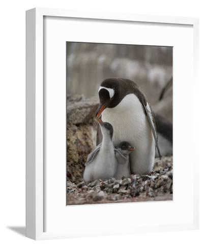 Gentoo Penguin, Pygoscelis Papua, and Chicks at Port Lockroy-Joel Sartore-Framed Art Print