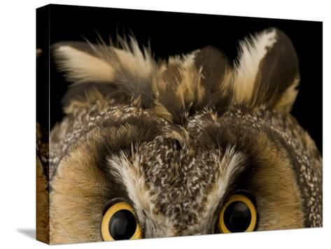 Close-up of the Eyes and Ears of a Long-Eared Owl, Asio Otus-Joel Sartore-Stretched Canvas Print