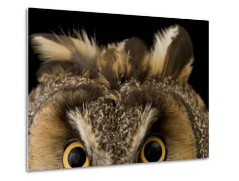 Close-up of the Eyes and Ears of a Long-Eared Owl, Asio Otus-Joel Sartore-Metal Print