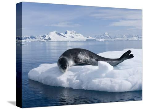 Resting Leopard Seal, Hydrurga Leptonyx, Off Danco Island-Joel Sartore-Stretched Canvas Print