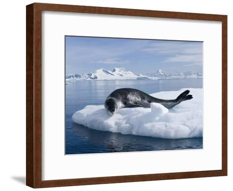 Resting Leopard Seal, Hydrurga Leptonyx, Off Danco Island-Joel Sartore-Framed Art Print