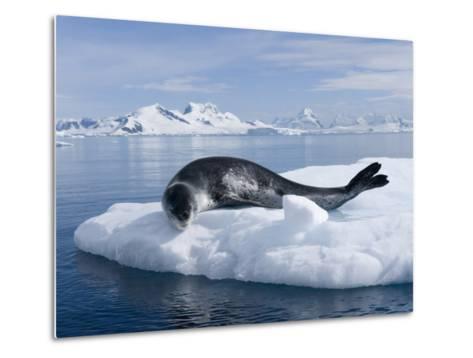 Resting Leopard Seal, Hydrurga Leptonyx, Off Danco Island-Joel Sartore-Metal Print