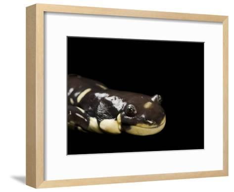 Vulnerable California Tiger Salamander, Ambystoma Californiense-Joel Sartore-Framed Art Print