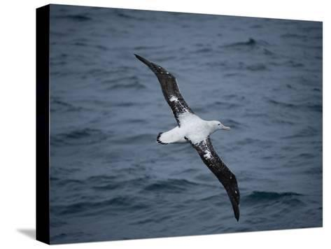 Wandering Albatross, Diomedea Exulans, over the Southern Ocean-Joel Sartore-Stretched Canvas Print
