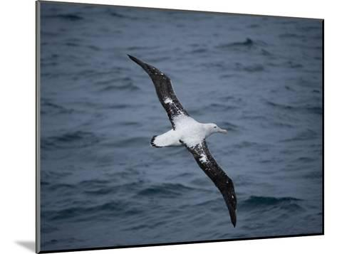 Wandering Albatross, Diomedea Exulans, over the Southern Ocean-Joel Sartore-Mounted Photographic Print