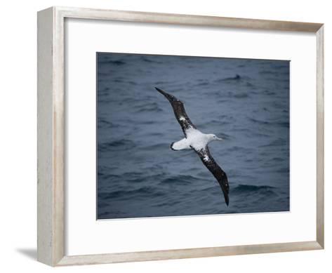 Wandering Albatross, Diomedea Exulans, over the Southern Ocean-Joel Sartore-Framed Art Print