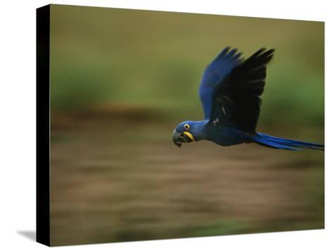 Hyacinth Macaw in Flight-Joel Sartore-Stretched Canvas Print