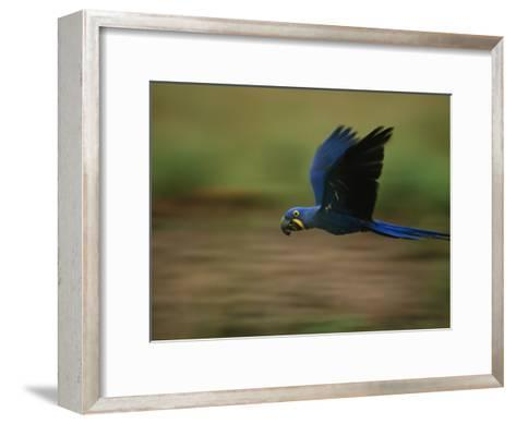 Hyacinth Macaw in Flight-Joel Sartore-Framed Art Print