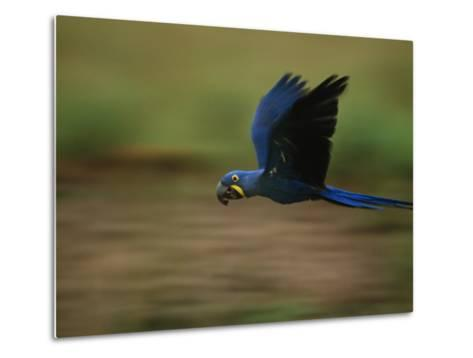 Hyacinth Macaw in Flight-Joel Sartore-Metal Print