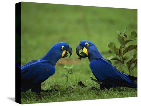 Hyacinth Macaws in a Clearing Feed on Acuri Palm Nuts-Joel Sartore-Stretched Canvas Print