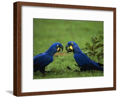 Hyacinth Macaws in a Clearing Feed on Acuri Palm Nuts-Joel Sartore-Framed Art Print