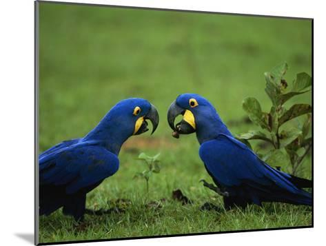 Hyacinth Macaws in a Clearing Feed on Acuri Palm Nuts-Joel Sartore-Mounted Photographic Print
