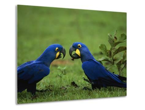 Hyacinth Macaws in a Clearing Feed on Acuri Palm Nuts-Joel Sartore-Metal Print