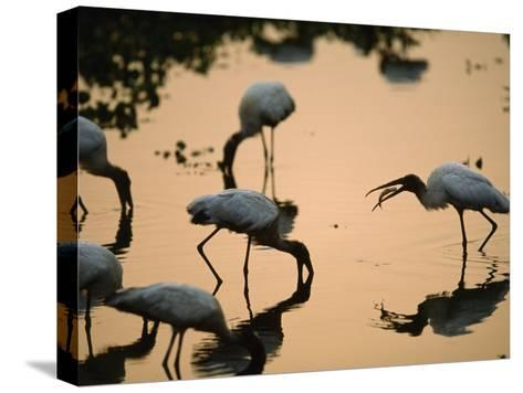 Wood Storks Fish in Floodwater-Joel Sartore-Stretched Canvas Print