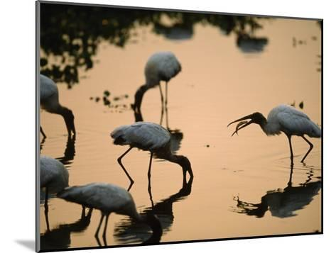 Wood Storks Fish in Floodwater-Joel Sartore-Mounted Photographic Print