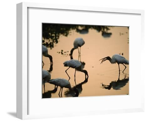 Wood Storks Fish in Floodwater-Joel Sartore-Framed Art Print