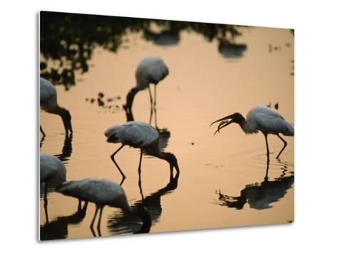 Wood Storks Fish in Floodwater-Joel Sartore-Metal Print