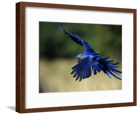 Hyacinth Macaw in Flight-Joel Sartore-Framed Art Print