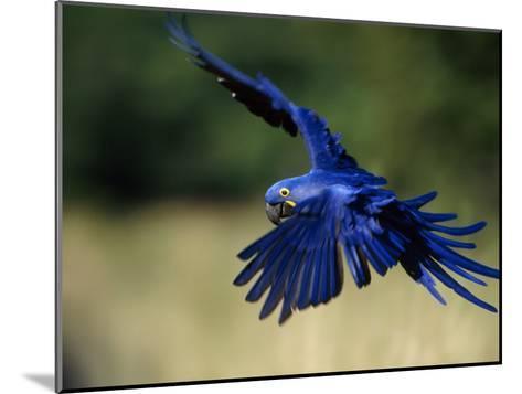 Hyacinth Macaw in Flight-Joel Sartore-Mounted Photographic Print