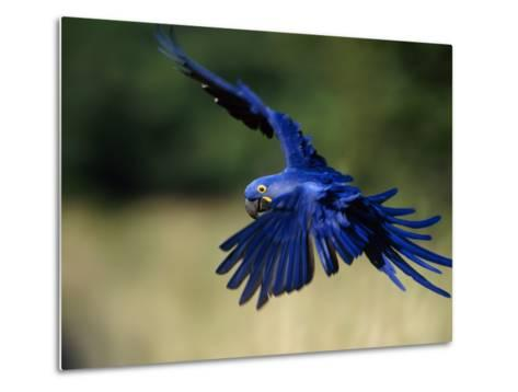 Hyacinth Macaw in Flight-Joel Sartore-Metal Print