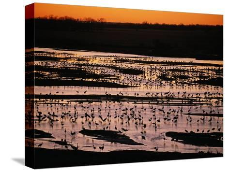 Sandhill Cranes Roost Along the Platte River in Nebraska-Joel Sartore-Stretched Canvas Print