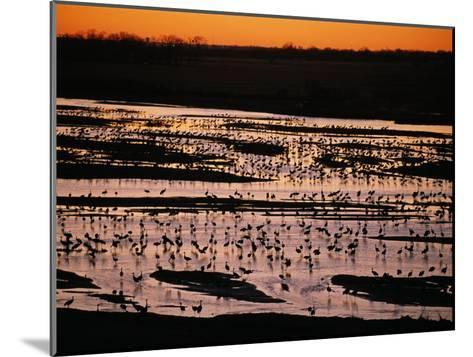 Sandhill Cranes Roost Along the Platte River in Nebraska-Joel Sartore-Mounted Photographic Print