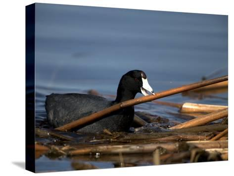 American Coot, Fulica Americana, with Material to Construct a Nest-John Cancalosi-Stretched Canvas Print