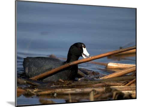 American Coot, Fulica Americana, with Material to Construct a Nest-John Cancalosi-Mounted Photographic Print