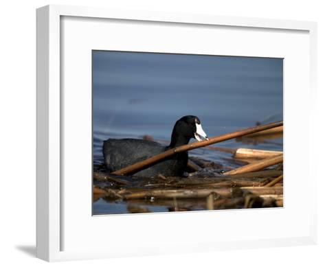 American Coot, Fulica Americana, with Material to Construct a Nest-John Cancalosi-Framed Art Print