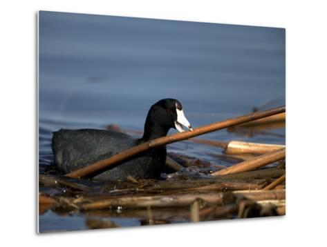 American Coot, Fulica Americana, with Material to Construct a Nest-John Cancalosi-Metal Print