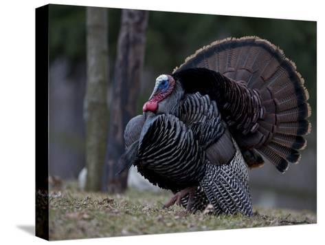Male Wild Turkey, Meleagris Gallopavo, in Springtime Display Posture-John Cancalosi-Stretched Canvas Print