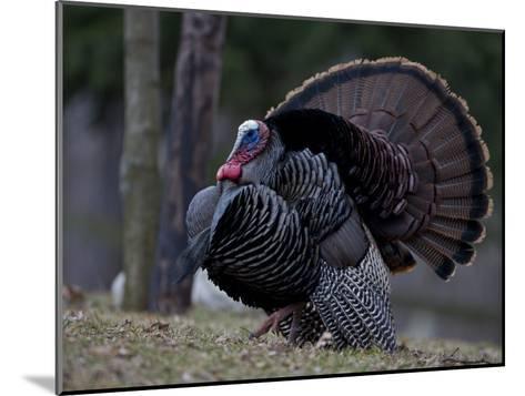 Male Wild Turkey, Meleagris Gallopavo, in Springtime Display Posture-John Cancalosi-Mounted Photographic Print