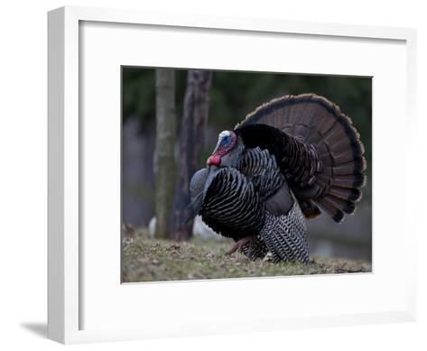 Male Wild Turkey, Meleagris Gallopavo, in Springtime Display Posture-John Cancalosi-Framed Art Print