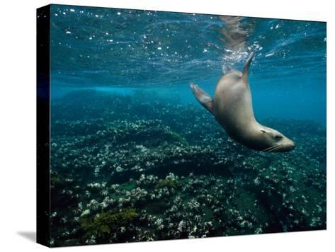 Endangered Galapagos Sea Lion Swimming Underwater-Mattias Klum-Stretched Canvas Print
