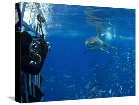 Great White Shark Swims Close to Divers in a Cage-Mauricio Handler-Stretched Canvas Print
