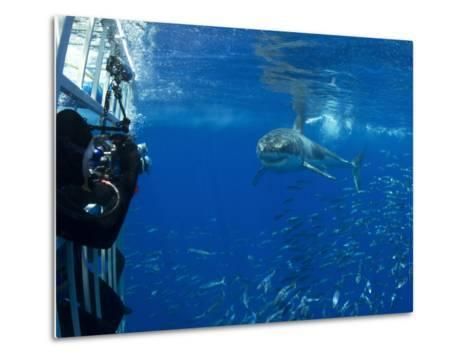 Great White Shark Swims Close to Divers in a Cage-Mauricio Handler-Metal Print