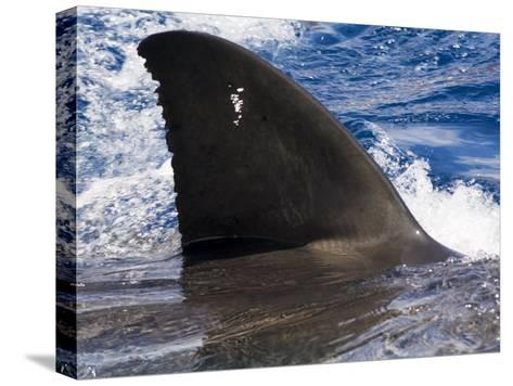 Great White Shark Swims Just under the Surface Off Guadalupe Island-Mauricio Handler-Stretched Canvas Print