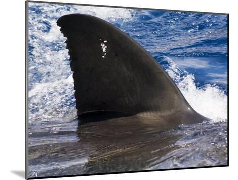 Great White Shark Swims Just under the Surface Off Guadalupe Island-Mauricio Handler-Mounted Photographic Print