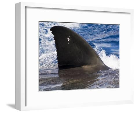 Great White Shark Swims Just under the Surface Off Guadalupe Island-Mauricio Handler-Framed Art Print