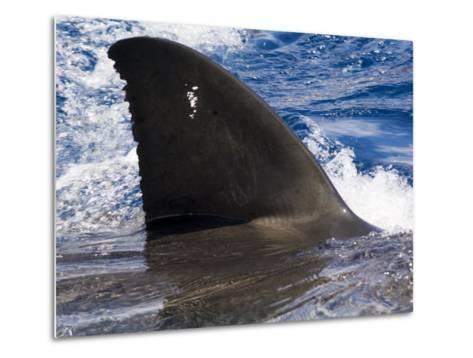 Great White Shark Swims Just under the Surface Off Guadalupe Island-Mauricio Handler-Metal Print
