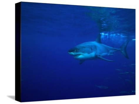 Great White Shark Swims in Clear Water Off Guadalupe Island-Mauricio Handler-Stretched Canvas Print